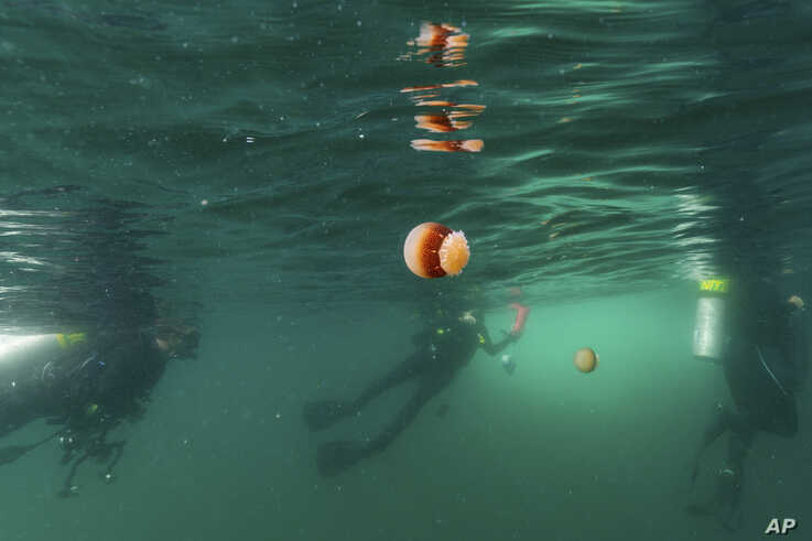 Cannonball jellyfish float in the water as scuba divers surface after diving at Gray's Reef National Marine Sanctuary Monday,…