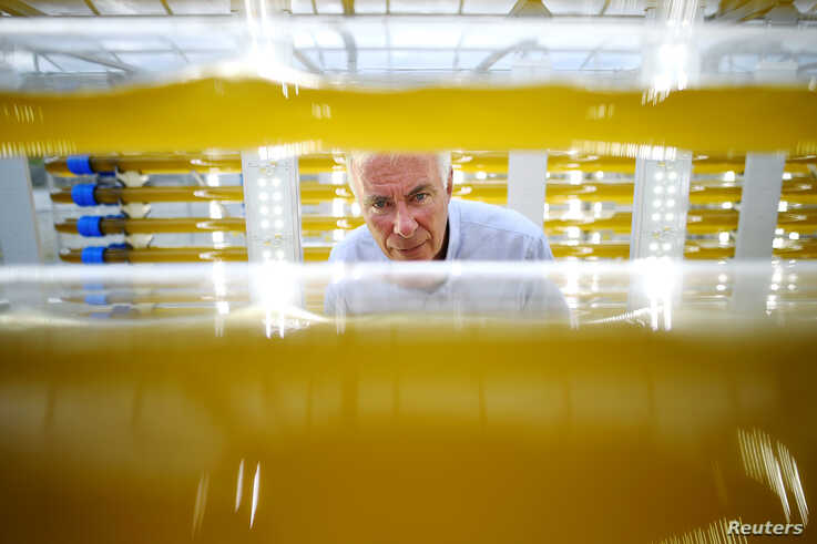 Svein Nordvik, managing director of Norwegian startup CO2Bio, inspects algae growing in transparent tubes at a greenhouse in…