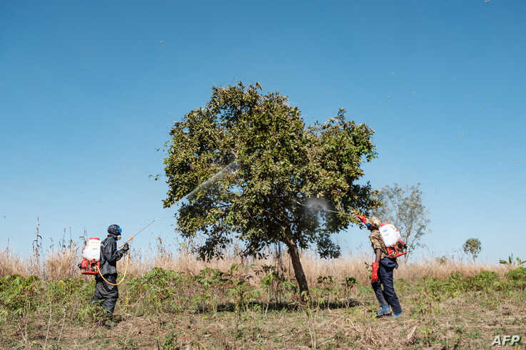 Soldiers of the Uganda People's Defence Forces (UPDF) spray trees where the  locust swarms will land with insecticides, with…