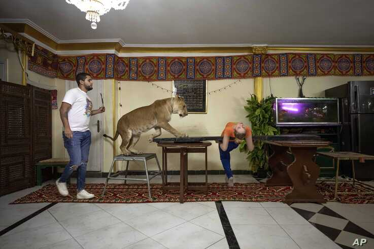 In this April 28, 2020 photo, 26-year-old lion tamer Ashraf el-Helw performs a show, part of a coronavirus stay home and stay…