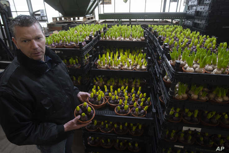 Henk van der Slot shows flowers which were destined to adorn Saint Peter's Square in Rome for Easter celebrations, at his farm…
