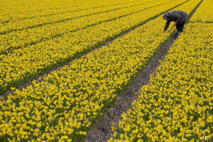 A man works in a field of daffodils in Lisse, near Amsterdam, Netherlands, Thursday, March 19, 2020. With lockdowns and border…