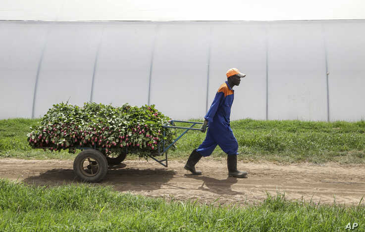 In this photo taken Thursday, March 19, 2020, farm worker Evans Makori pulls a handcart of roses to be thrown away at Maridadi…
