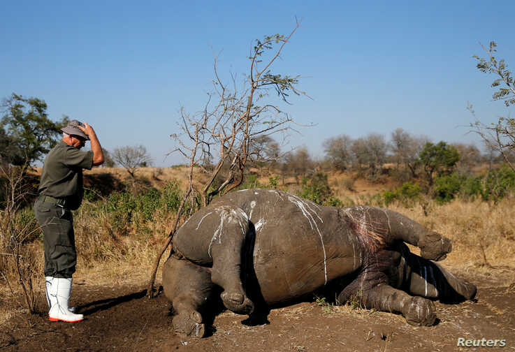 A ranger gestures before performing a post mortem on a rhino after it was killed for its horn by poachers in South Africa's…