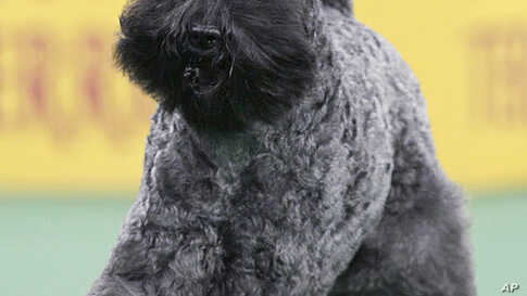 A Kerry Blue Terrier named Chelsey is declared the winner of the terrier group at the 136th annual Westminster Kennel Club dog show in New York, February 14, 2012. (AP)