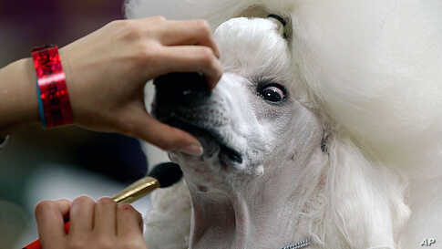 Sophie, a Standard Poodle, is groomed before her showing at the 136th annual Westminster Kennel Club dog show, February 13, 2012, in New York. (AP)