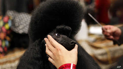 Sugar Baby, a Miniature Poodle is groomed before competing in the annual  Westminster Kennel Club Dog Show in New York, February 13,  2012.  (REUTERS)