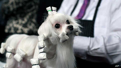 Dottie, a Maltese, is groomed at the 136th annual Westminster Kennel Club dog show, February 13, 2012, in New York. (AP)