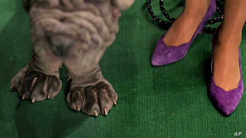 Neapolitan Mastiff Trinity, left,  waits for judging as people stand nearby at the annual Westminster Kennel Club dog show, February 14, 2012, in New York. (AP)
