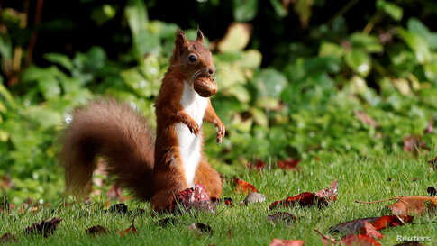 A red squirrel stockpiles walnuts in Pitlochry, Scotland, Britain October 8, 2019.