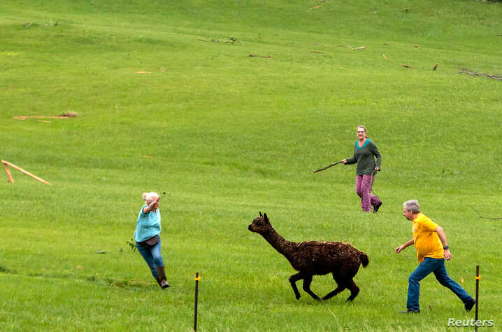 An alpaca is chased down in a field near damaged properties, after several tornadoes touched down overnight, in Linwood, Kansas, U.S., May 29, 2019.