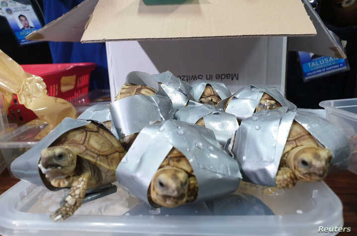 Tortoises are seen covered in a duct tape after being seized by Philippines Customs in Manila, Philippines March 3, 2019 in this picture obtained from social media on March 4, 2019.